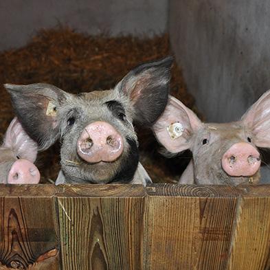 Tierschutz-Rettung-Schweine